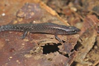 A skink with five digits on each limb